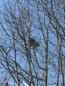 hidden treasures in winter - nests in bare trees