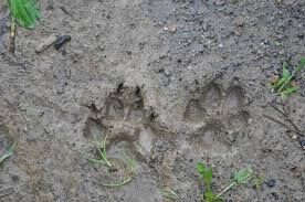 Animal tracks in nature