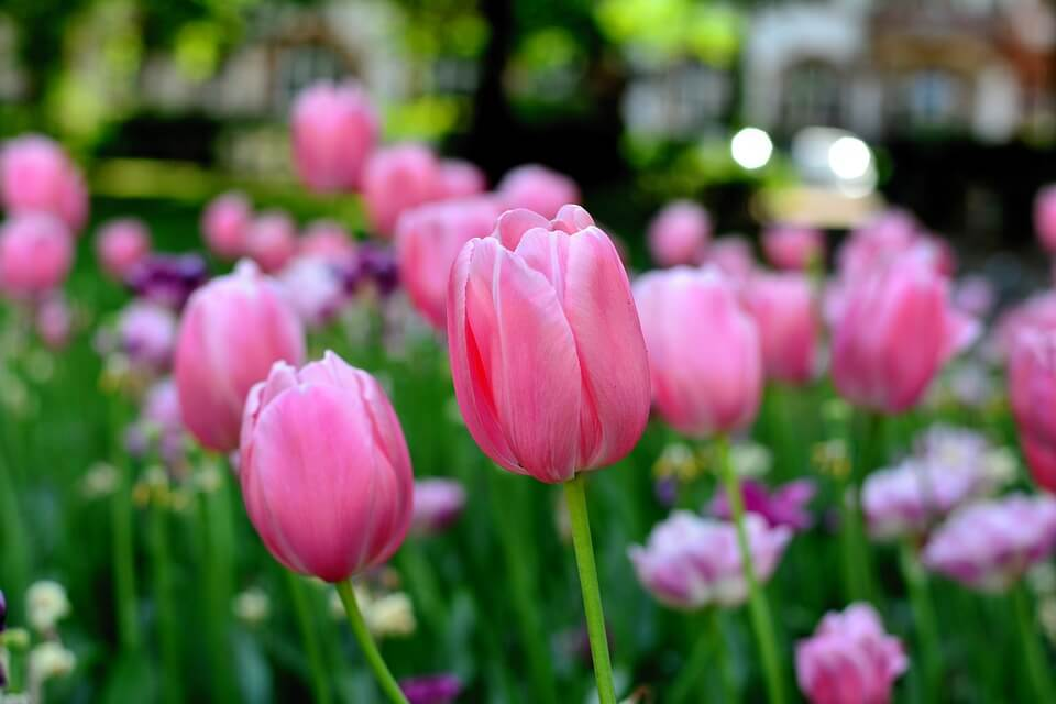 Spring tulips growing on the playground