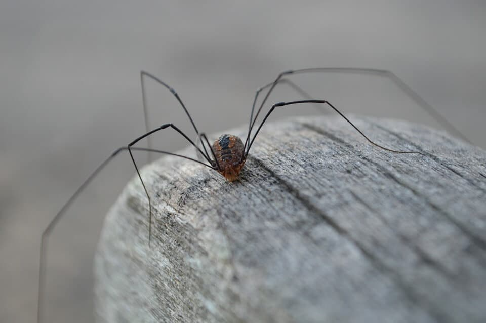 Daddy Long Leg Spider on Rock